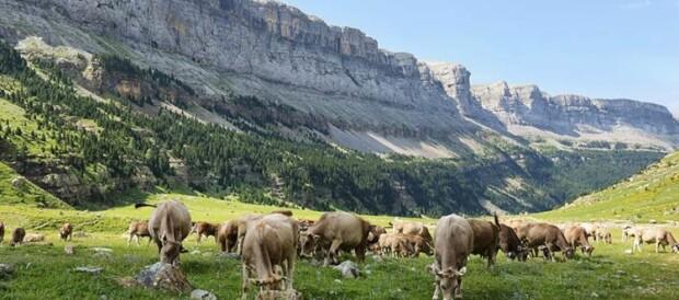 vacas-ordesa-750x536
